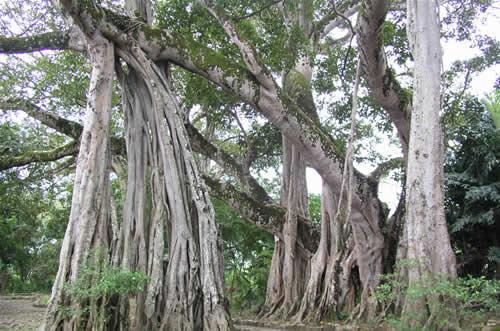独木成林旅游景点图片